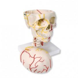 Cráneo neurovascular (W19018)