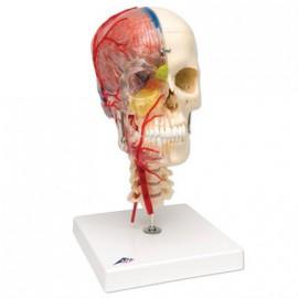BONElike™ Cráneo – Cráneo didáctico de lujo, 7 partes (A283)