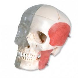 BONElike™ Cráneo – Cráneo combinado transparente / huesos, 8 partes (A282)