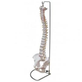 Columna vertebral con pelvis, tamaño real.  (FIS-1004)