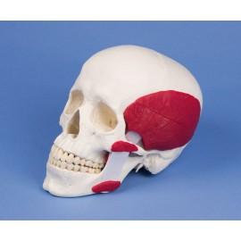 Cráneo funcional con musculatura para la masticación, 2 partes (A24)