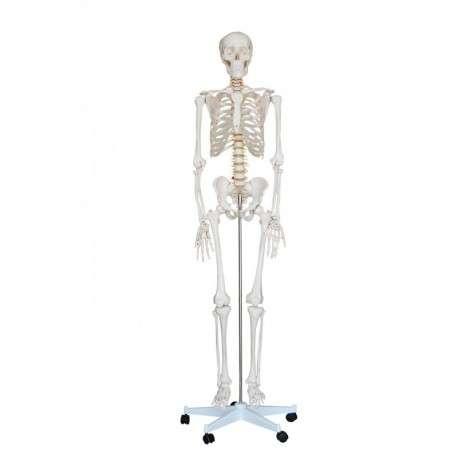 Esqueleto humano tamaño real ECONOMIC (FI-2569) - Logarsalud