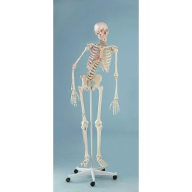 Esqueleto tamaño real con columna flexible y marcas musculares (ER-3015)