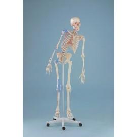 Esqueleto MAX tamaño real con marcas musculares, columna flexible y ligamentos (ER-3016)