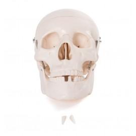Cráneo de Adulto 3 partes (FIS-CRA-1)