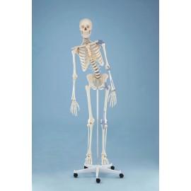 ESQUELETO tamaño real TONI con columna flexible y ligamentos (ER-3013)
